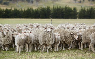 Prioritising Traceability in the Wool Industry
